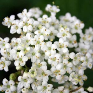 Elderflower Flavourings Flavour Honeyberry International